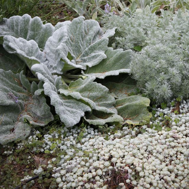 """The fuzzy, oversized leaves of Silver Sage (Salvia argentea) dramatically contrast with the tiny white nubbins of Cape Blanco Creeping Sedum (S. spathulifolium 'Cape Blanco'). Both are evergreen perennials; the Salvia is short-lived but may self-sow."""