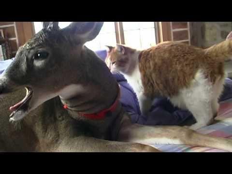 deer gives kitty bath
