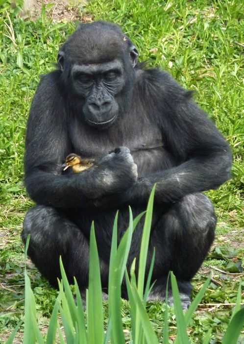 TOO CUTE!! A gorilla takes care of a lost baby duckling at Bristol Zoo. Go apes!