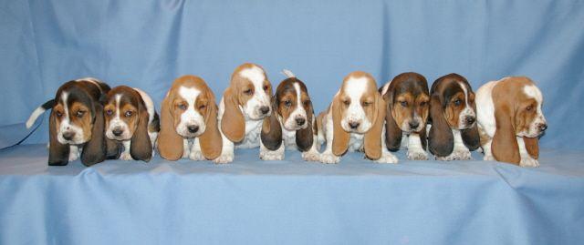 Bassett puppies!!!!!  Precious!!!