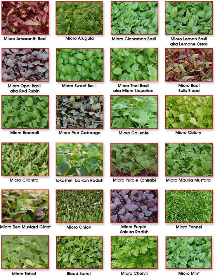 Micro Greens Microgreens garden, Micro