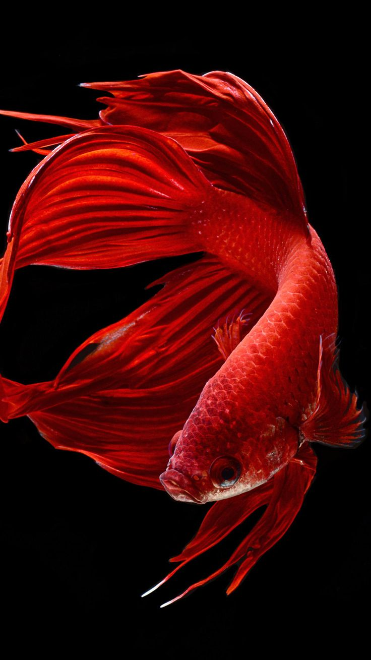 Mannapedia Apple Iphone 6s Wallpaper With Red Betta Fish In