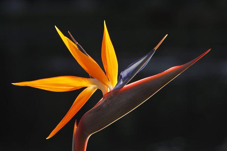 Bird Of Paradise Flower (8)