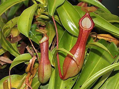 Nepenthes spp, Planta-jarra, Planta-de-jarro, Nepentes