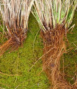 Dividing ornamental grasses