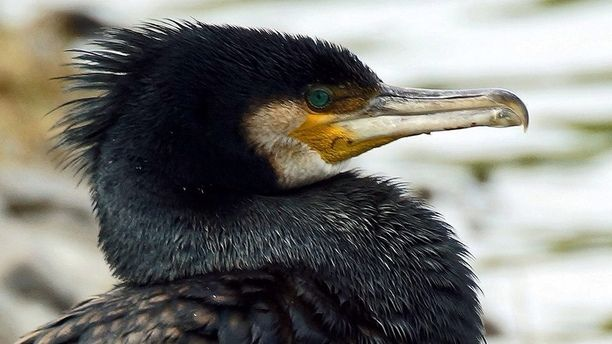 Palmerston North Central, Palmerston North, New Zealand — by David Dingle. Grumpy Black Cormorant
