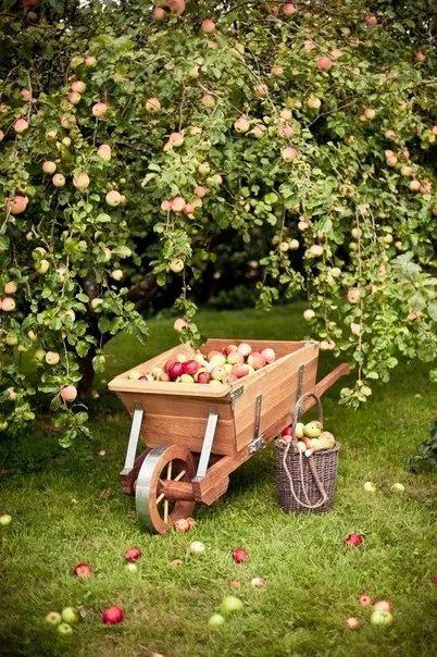 Как ускорить плодоношение сада   Дачники