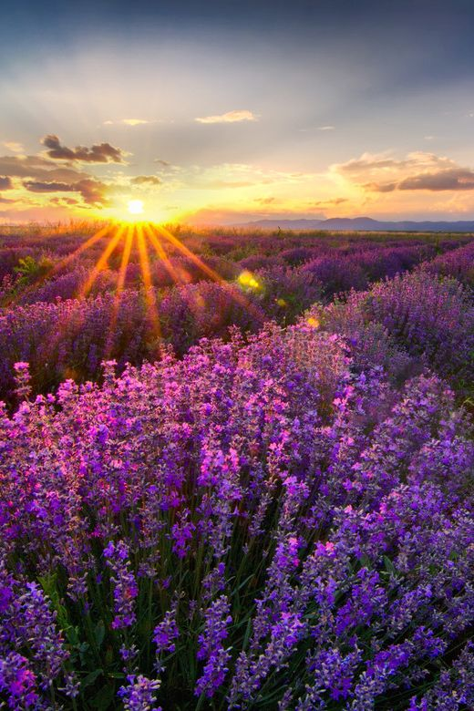 Sundxwn Lavender By Mariana Dobreva Beautiful