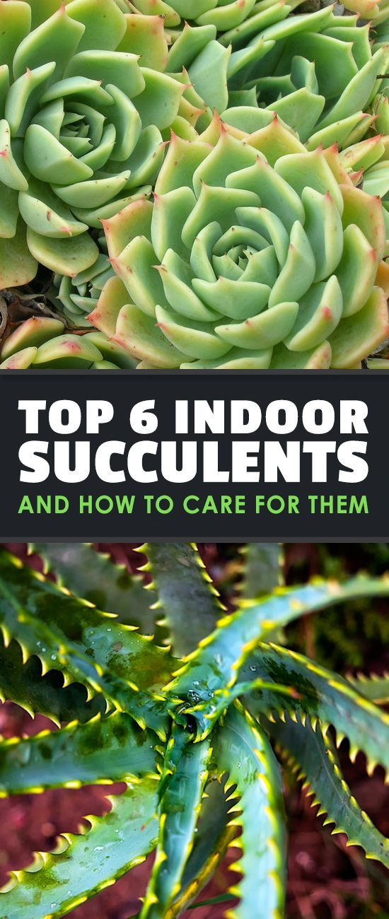 Indoor succulents are taking the gardening world by storm. Learn how to care for indoor succulents as well as six of the best ones to try in your home.