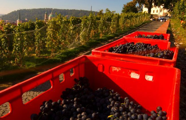 Grape harvest at Prague Castle (St. Wenceslas wineyards, the oldest wineyard in Prague).