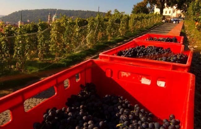 Grape harvest at Prague Castle (St. Wenceslas wineyards, the oldest wineyard in Prague).