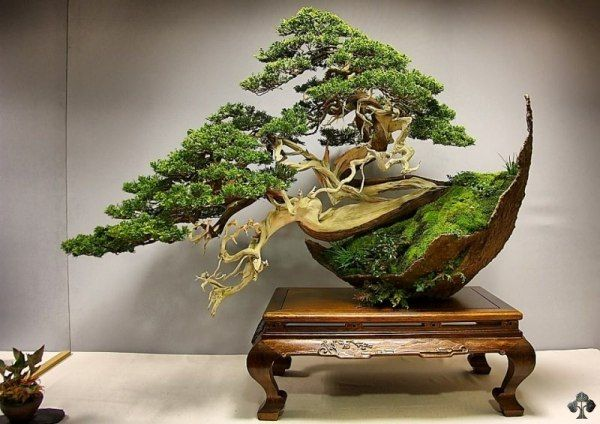 Juniper Bonsai tree by Luis Vila - A Juniper Bonsai tree by Luis Vila. It is placed in a unique Crescent Bowl, which enhances the dramatic effect of the cascade composition. This is a personal favorite, stunning composition! Photo by: Salvador De Los Reyes.