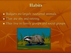 PowerPoint resource on the life of badgers