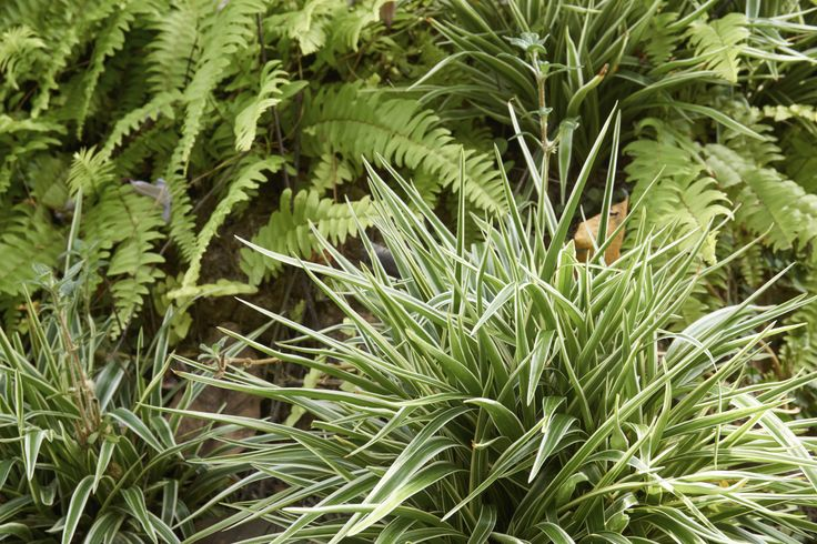 """You may have wondered at one time or another, """"can spider plants be outdoors?"""" Well, in the right conditions, growing spider plants outdoors is possible. You can learn how to grow a spider plant outside in this article."""