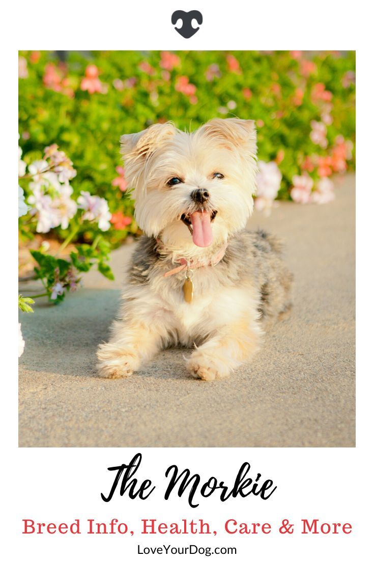 Maltese Yorkshire Terrier Mix Morkie