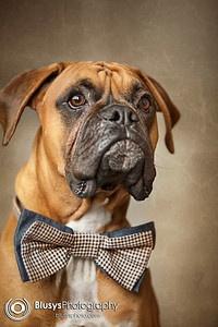 Midwest Boxer Rescues.com! ~ Boxer Rescue