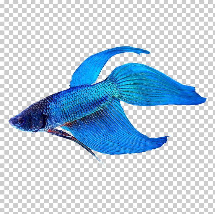 Siamese Fighting Fish Veiltail Tropical Fish Aquarium Png Animal Animals Aquarium Betta Blue Tropical Fish Aquarium Siamese Fighting Fish Tropical Fish