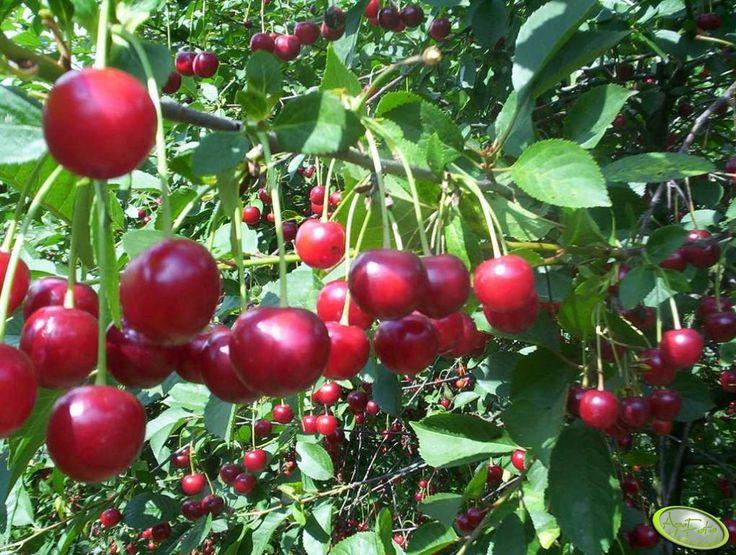 Wiśnie   #wiśnie #owoce #pyszne #zdrowo #lato #wakacje #frut