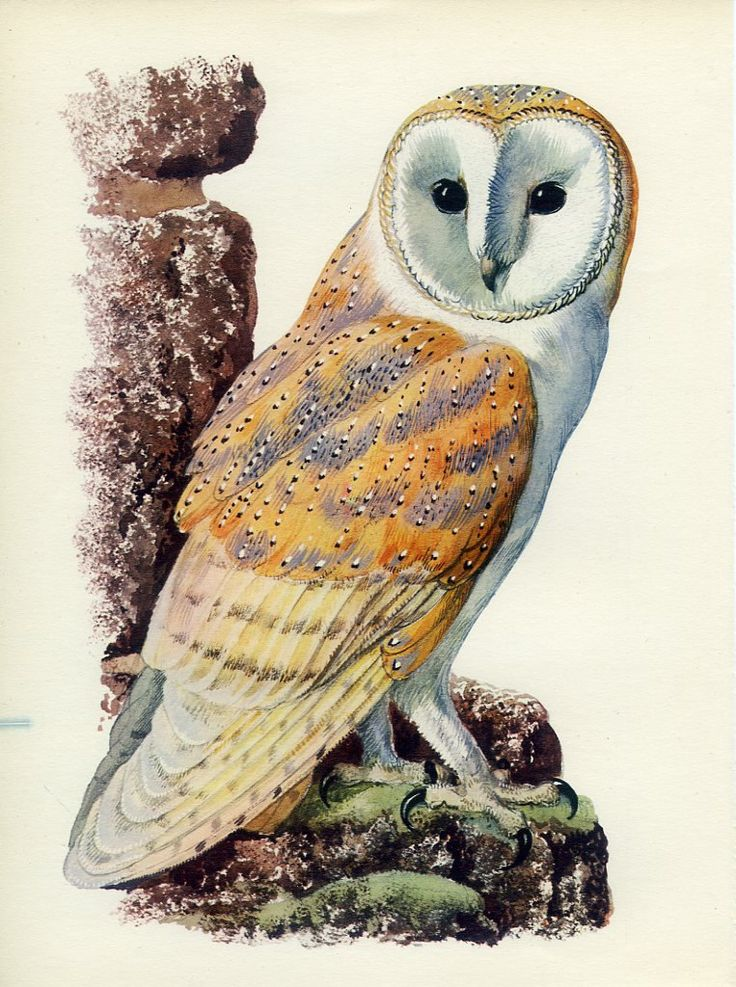 "LECHUZA COMUN, BARN OWL (Tyto alba)  ""Barn Owl"" par Charles Tunnicliffe"