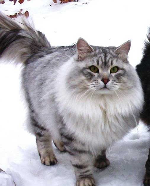 The Siberian cat breed. Pictures of siberian cats and siberian kittens. Information about the siberian cat personality and siberian breed standards.