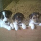 Jack Russell Beautiful tri coloured Jack Russel Puppy. Lovely and ... Swansea for sale in West Glamorgan, Wales :: Dogs and Puppies