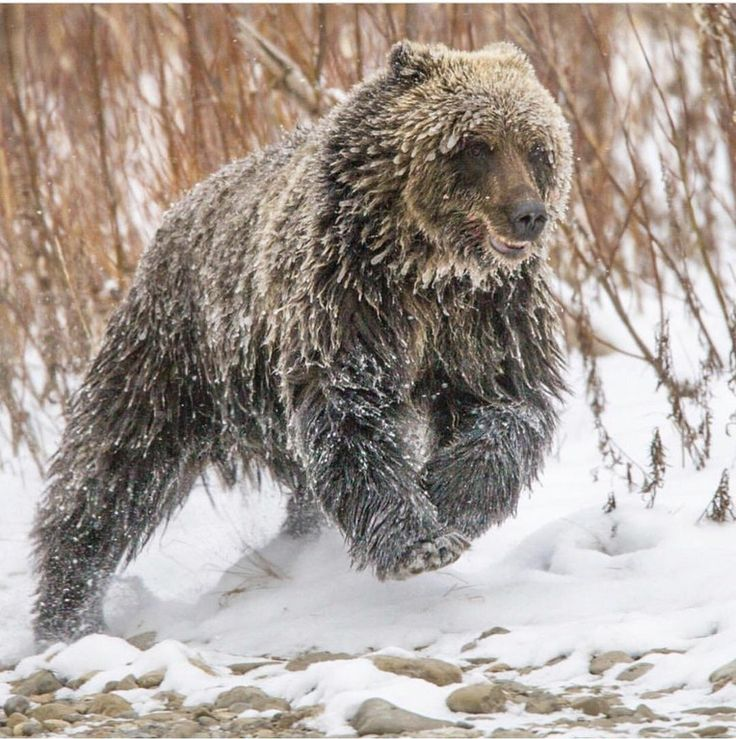 Young ice-covered female Grizzly : natureismetal