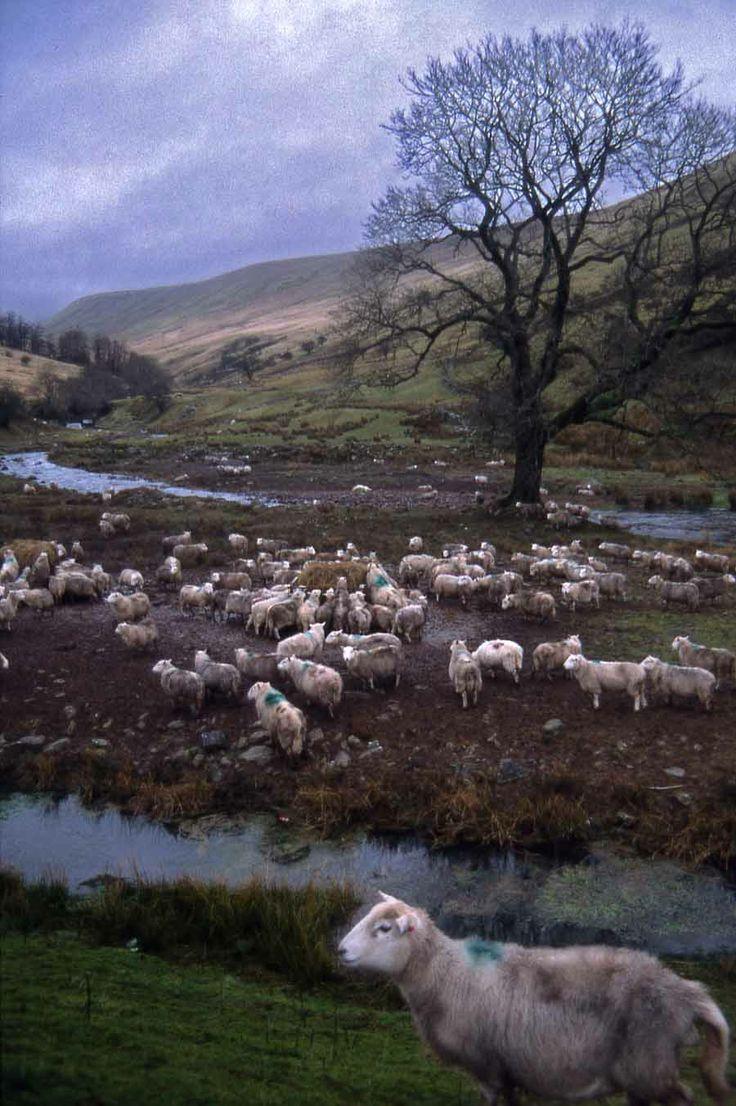 Brecon sheep