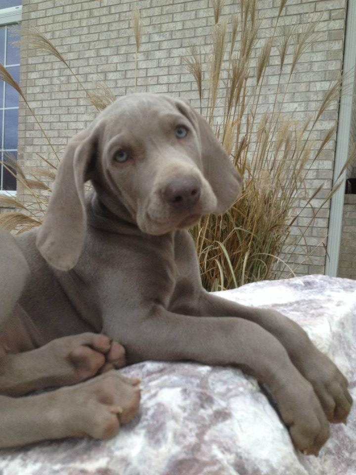 The beauty of Weimaraners!
