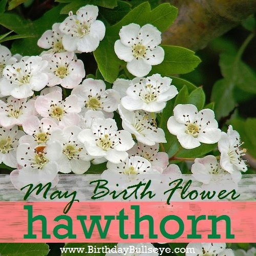 The Traditional May Birth Flower: Hawthorn - interesting tidbits about May birthstones and flowers | BirthdayBullseye.com