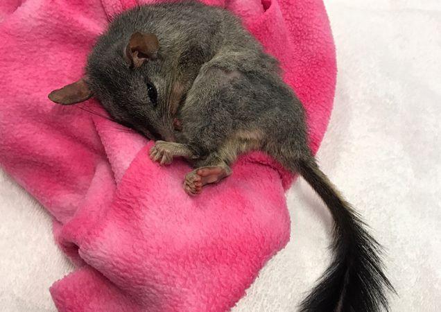 Rspca Queensland Possum Or Phascogale Animal Rescue Stories Australian Animals Animals