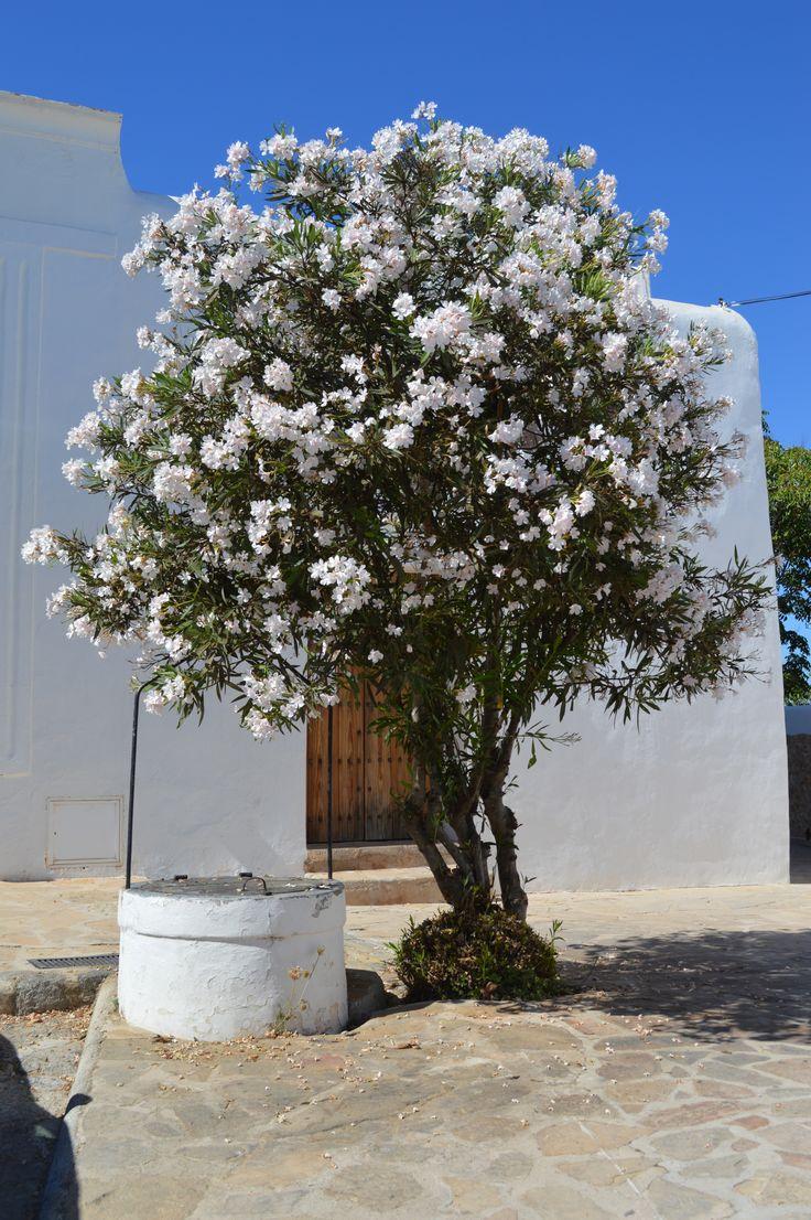 Tree in San Miguel, Ibiza