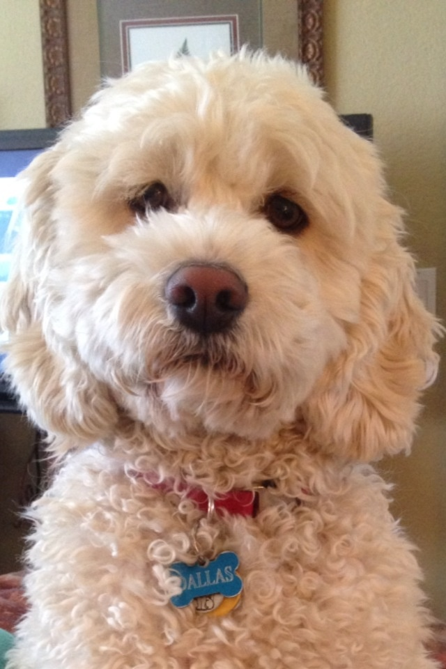 614 best images about add poodle and mix on pinterest