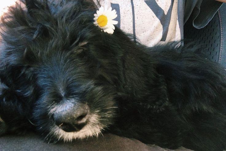 Black Labradoodle Puppy Flower child
