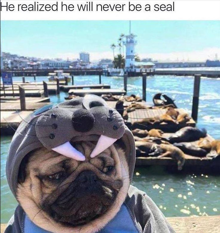 He realize he will never be a seal. Such a sad pug and a seal outfit.