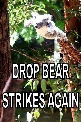"Koalas aka ""Drop bears"" even though they're not really bears, but marsupials! Lol!"