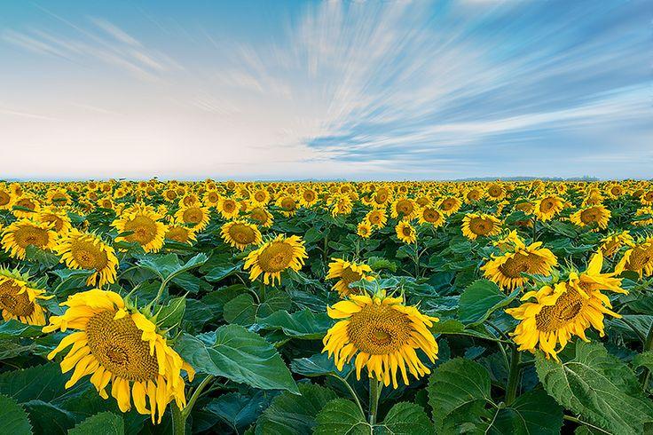 Sunflowermania by Nebojsa Novakovic on 500px
