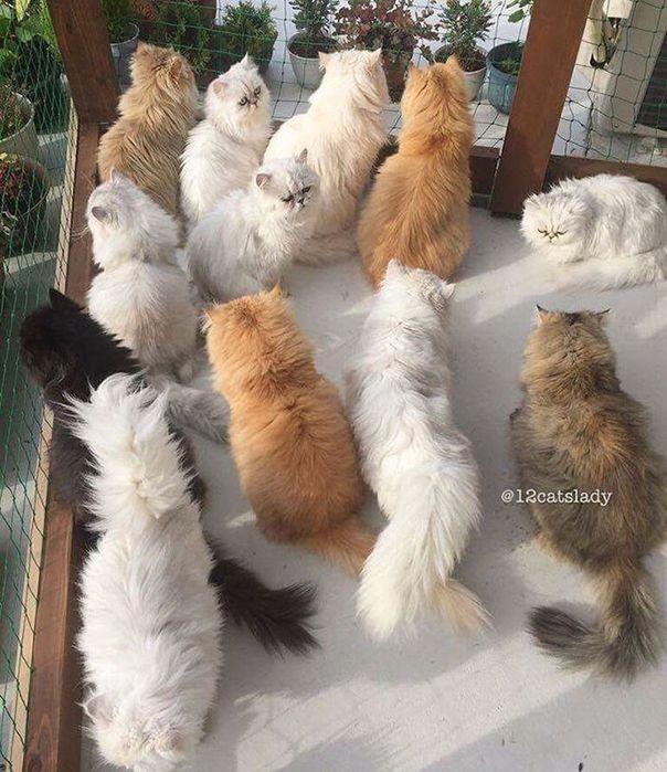персидские кошки фото 10 (604x700, 456Kb)