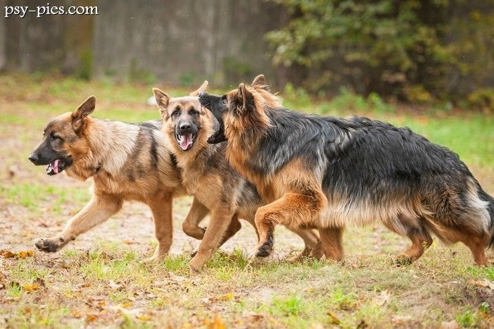 Owczarki niemieckie (Deutscher Schäferhund, German Shepherd Dog, Alsatian)