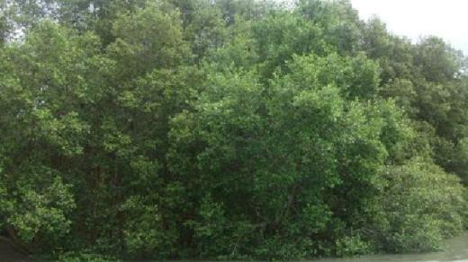 Hutan Manggrove Lamtim