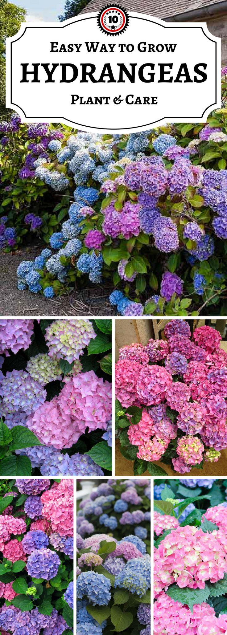 10 tips for hydrangeas