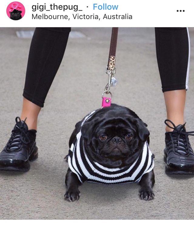 Pin By Leslie Popplewell Ferguson On Blog Pics Needed Black Pug