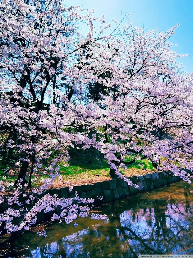 Cherry blossom trees...