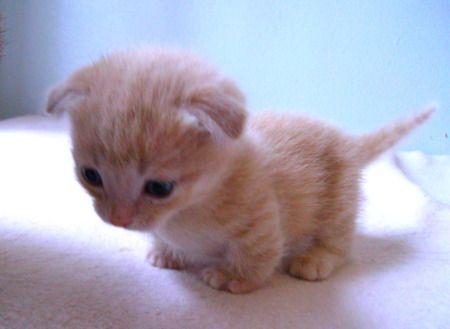 a scottish fold munchkin kitten. I am in love.                                                                                                                                                     More