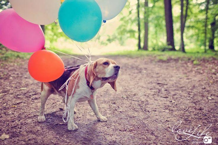 séance photo chien beagle et ballons