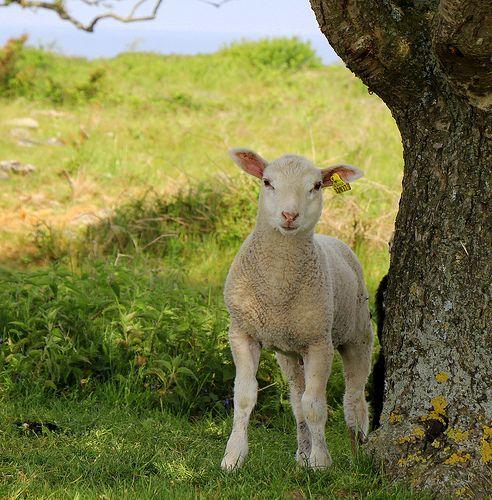 cute little lamb on Hallands Väderö