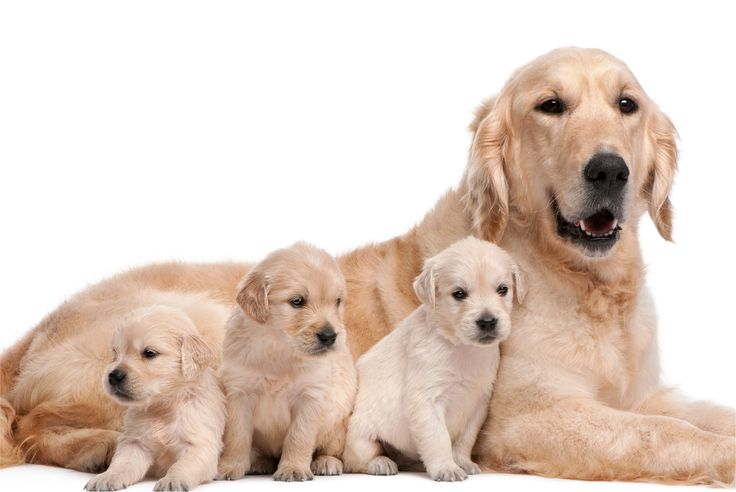 Golden Retriever Puppies Harvestview Puppies 35 Most Awesome
