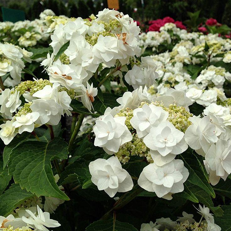 Hydrangea Macrophylla Wedding Gown: 100+ Ideas To Try About Hydrangea - Hortensja