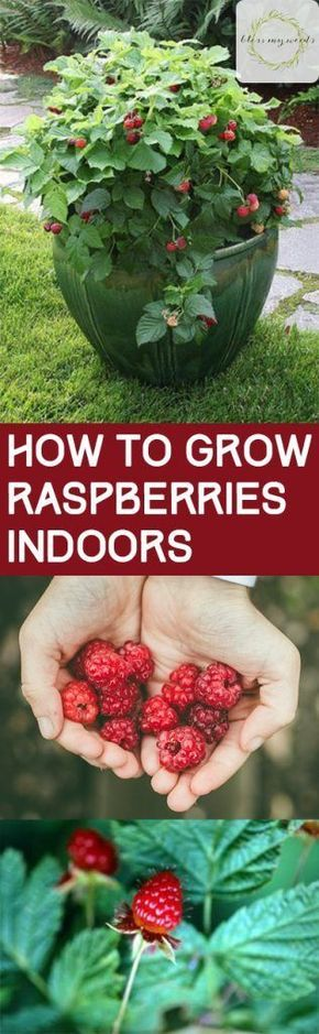 Growing Raspberries, How to Grow Raspberries, Growing Raspberries Indoors, Indoor Gardening, Indoor Gardening Tips and Tricks, How to Indoor Garden, Planting Raspberries in Containers
