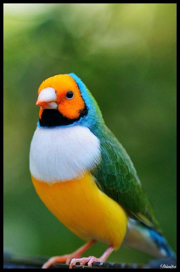 Australian Gouldian-Finch
