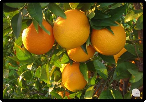 Naranjas Navelinas, del campo a tu mesa en 24 horas.